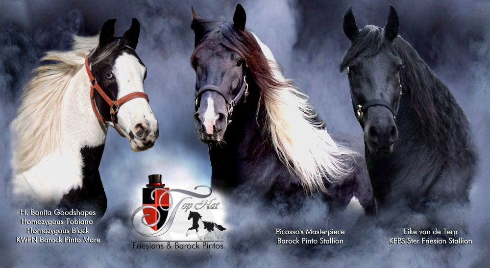 Pinto Friesian Horse Baroque Pinto Horses For