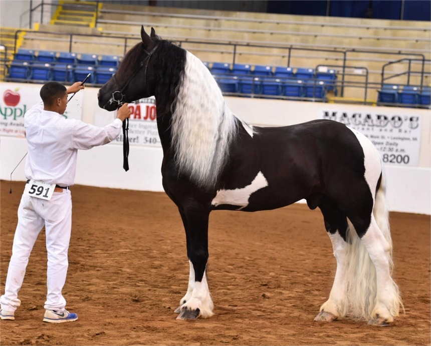 Pinto Friesian Horse And Friesian Sport Horses