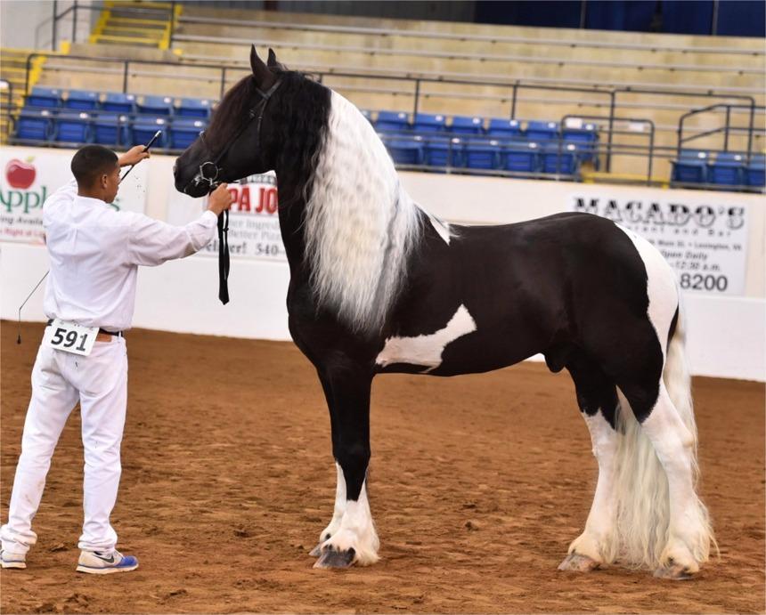 Friesian Horse And Friesian Sport Horses